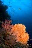 珊瑚风扇印度尼西亚sulawesi 免版税库存图片