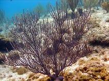 珊瑚风扇紫色 免版税库存照片
