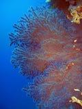 珊瑚风扇红海 图库摄影