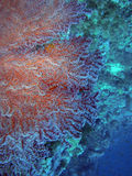 珊瑚风扇红海 免版税库存照片