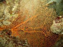珊瑚风扇红色 免版税库存图片