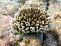珊瑚马尔代夫 免版税库存图片