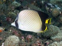 珊瑚鱼印地安地痞蝴蝶鱼 库存图片