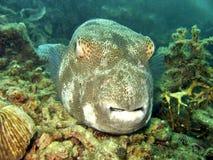 珊瑚鱼吹风者礁石 库存图片