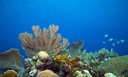 珊瑚鱼少校礁石seageat 库存图片