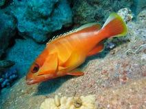 珊瑚鱼桔子礁石 免版税图库摄影