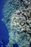 珊瑚鱼模仿红色礁石海运 库存照片