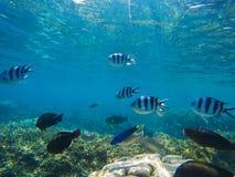 珊瑚鱼横向礁石热带水中 在蓝色海水海里的照片的热带鱼Dascillus 免版税库存图片