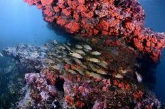 珊瑚鱼横向礁石热带水中 库存照片