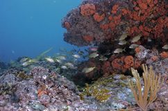 珊瑚鱼横向礁石热带水中 免版税库存照片