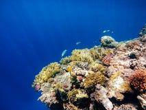 珊瑚鱼红海 埃及 免版税库存图片