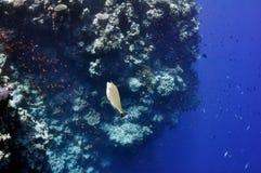 珊瑚鱼红色礁石海运外科医生 库存照片