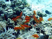 珊瑚鱼红色礁石 免版税库存照片
