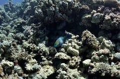 珊瑚鱼鹦鹉红色礁石海运 库存图片