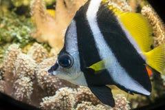珊瑚鱼(Heniochus acuminatus) 免版税库存照片