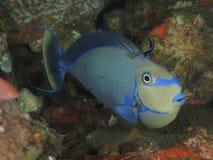 珊瑚鱼Bignose unicornfish 免版税库存照片