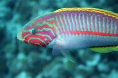珊瑚鱼klunzingeri隆头鱼科类 库存照片