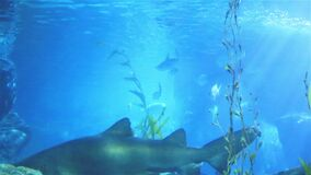 珊瑚鲨鱼和其他海鱼 股票视频