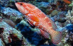 珊瑚鳟鱼、豹子珊瑚石斑鱼或者豹子珊瑚鳟鱼(Plectropomus leopardus) 库存照片