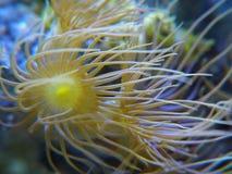 珊瑚黄色的polips 免版税库存照片