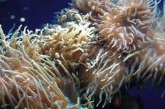 珊瑚 免版税库存图片