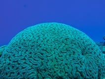 珊瑚头 图库摄影