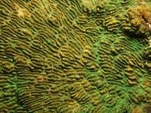 珊瑚- Pachyseris sp。 图库摄影