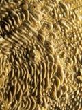 珊瑚- Pachyseris sp。 免版税库存照片