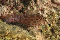 珊瑚Hawkfish, Kapalai海岛,沙巴 库存照片
