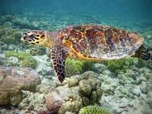 珊瑚hawksbill礁石乌龟 图库摄影
