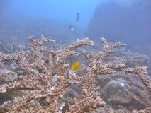 珊瑚staghorn 图库摄影
