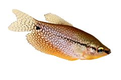 珍珠吻口鱼Trichopodus leerii淡水水族馆鱼 图库摄影