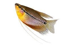 珍珠吻口鱼Trichopodus leerii淡水水族馆鱼 免版税库存图片
