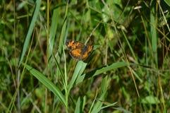 珍珠月牙蝴蝶 库存照片