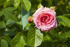 珍珠颜色一朵美丽的新鲜的玫瑰的特写镜头与芽的 库存图片