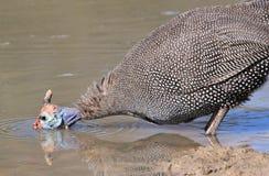 珍珠鸡-从非洲的狂放的鸟背景-奇迹和秀丽斑点  库存图片
