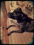 珍贵和厚脸皮的pitbull 图库摄影