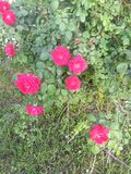 珍贵的玫瑰 免版税图库摄影