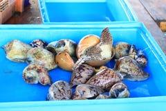 珠色的舡鱼 免版税库存图片