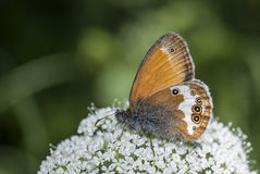 珠色荒地(Coenonympha arcania)蝴蝶 免版税库存照片