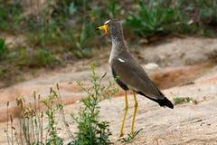 珩科鸟wattled的塞内加尔 免版税图库摄影