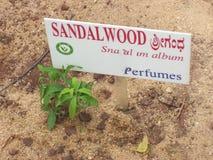 班格洛,卡纳塔克邦,印度- 2008年Lalbagh植物园的8月11日檀香木植物 库存照片