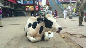 班格洛,印度- 2017年1月30日:坐在街道中部的母牛  股票视频