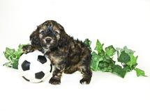 球小狗足球 库存照片