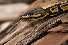 球或皇家Python蛇 库存照片