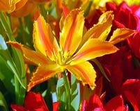 球状药草亚历山德拉,与杯子的郁金香塑造了古铜色黄色花,富有和整洁与强的词根 免版税库存照片