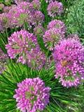 球状葱属花在紫色树荫下  免版税库存照片