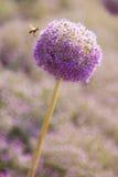 球状紫色花和蜂 免版税库存图片