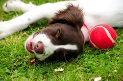 球狗小狗西班牙猎狗蹦跳的人网球 免版税库存图片
