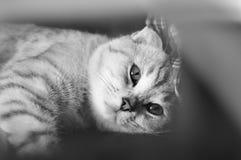 球猫折叠苏格兰人 免版税图库摄影